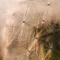 Photos: 夕暮れの綿毛