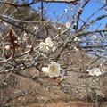 写真: 足利城ゴルフ倶楽部の梅が咲いてます2016.1.31