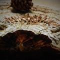 Photos: 晩秋の赤松の種 on the モンキーテーブル。。。