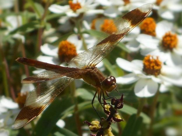 真っ白な花々に囲まれて~精霊蜻蛉(しょうりょうとんぼ)~