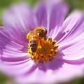 コスモスとミツバチの季節