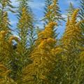 セイタカアワダチソウと秋の空とミツバチ君