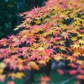 写真: 杉木立の森の紅葉 in 御調八幡宮