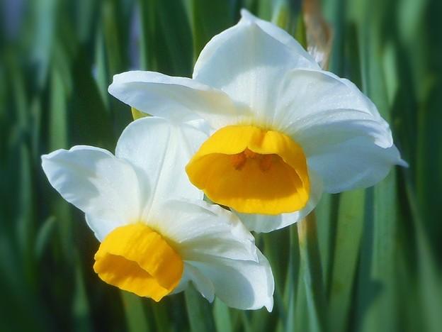暖冬に咲く 新春四日の水仙