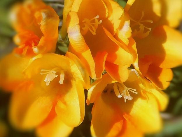 クンシランもどきの花盛り