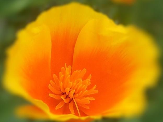 カリフォルニアポピー~花菱草~