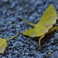 写真: 落ち葉「銀杏」