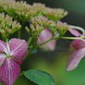 写真: 額紫陽花
