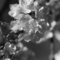 早春に咲き誇る「モノクロ」