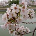 Photos: 桜と湖面