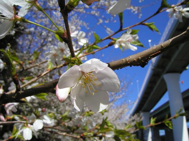 Photos: 桜と高速道路