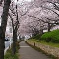 Photos: 桜と歩道