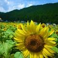 写真: 夏の日のひまわりさん