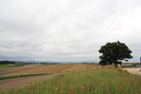 美瑛の丘~セブンスターの木
