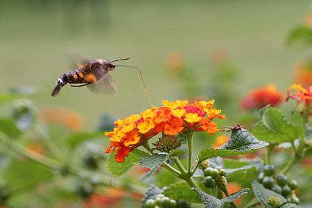 ランタナの蜜を吸うホシホウジャク