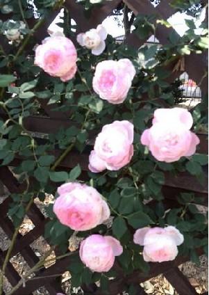 rose-k
