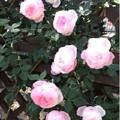 Photos: rose-k
