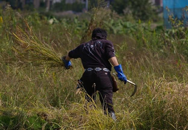 ワイルド米は手刈りです