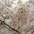 Photos: 頭上の桜