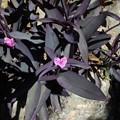 ムラサキゴテン(紫御殿)  ツユクサ科