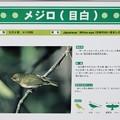 Photos: メジロ(目白)