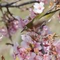 Photos: メジロと河津桜