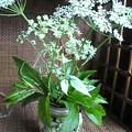 Photos: イワミツバの花