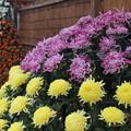 菊花祭 D7257
