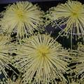 菊花祭 D7259