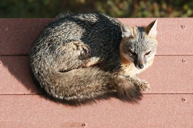 Gray Fox (6)