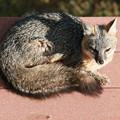 Photos: Gray Fox (6)