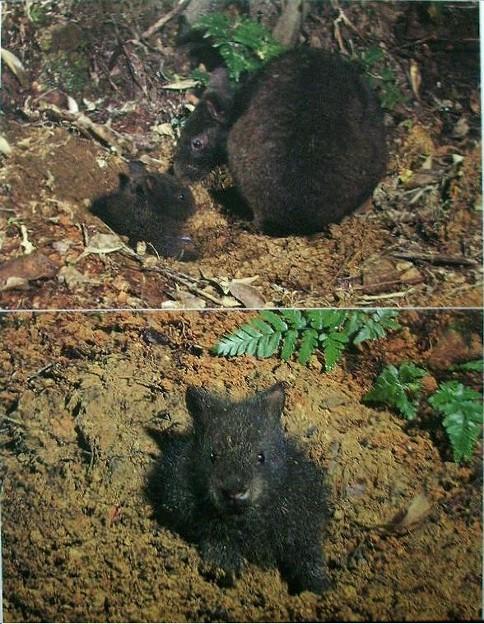 アマミノクロウサギの画像 p1_16