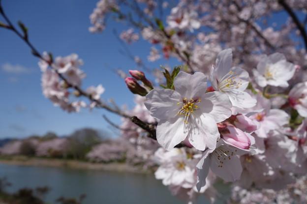 桜と蕾と青空と川