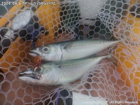 2014‐09‐6,7サバしか釣れないけど (8)
