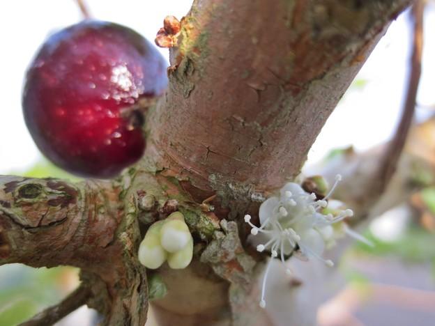 ジャボチカバの花と実
