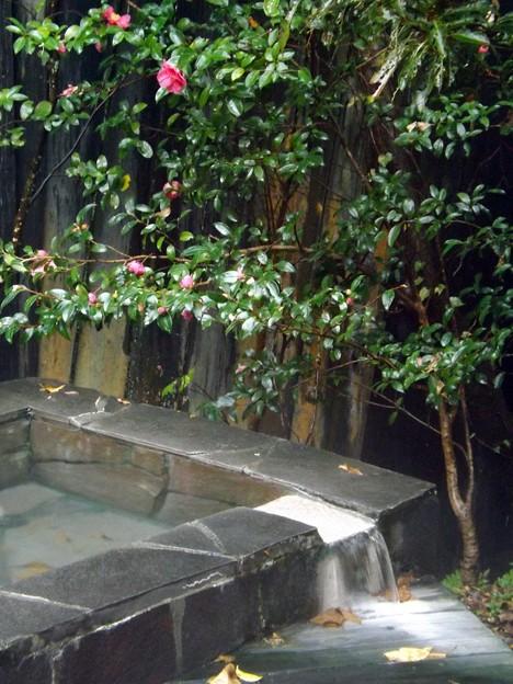 霧島温泉の山茶花