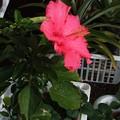 ハイビスカスと苺の花