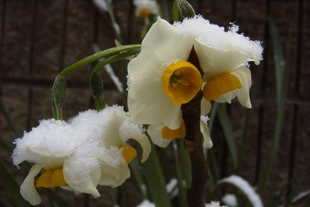 雪の日本水仙