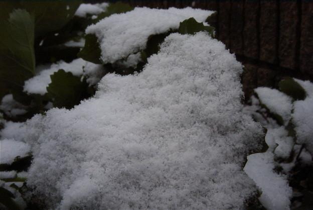 雪のブロッコリー