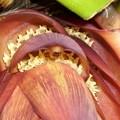 宮崎ミニミニバナナの花たち