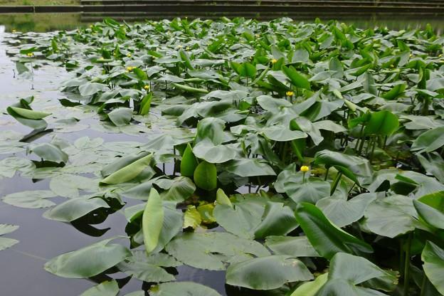 コウホネの花が咲く池