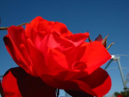秋バラ 赤