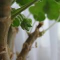 写真: ゼラニウムに花芽