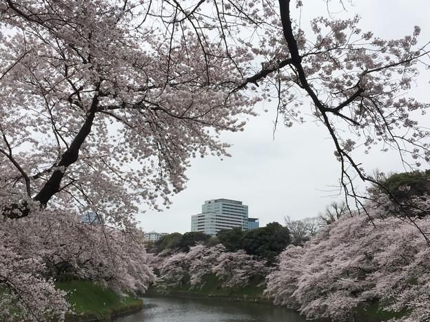 16.04.02.千鳥ヶ淵緑道(三番町・九段南2)