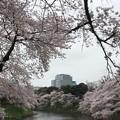Photos: 16.04.02.千鳥ヶ淵緑道(三番町・九段南2)