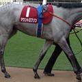Photos: マウントロブソン(2回中山7日 11R 第65回 フジテレビ賞スプリングステークス(GII)出走馬)