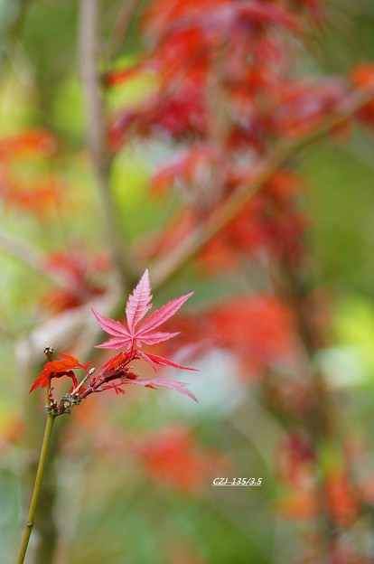 2015 Autumn Maple Taiwan