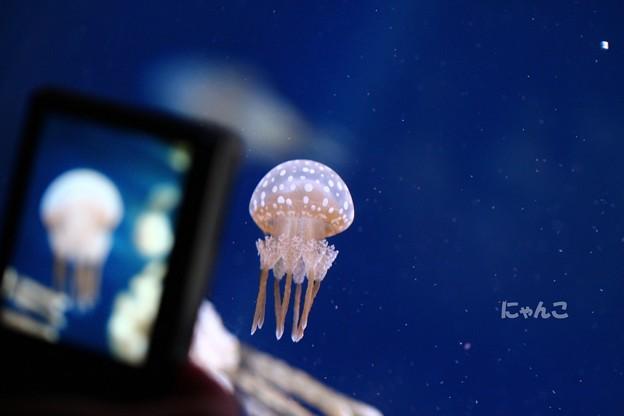 ~海月&jellyfish~