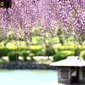 ~紫の雨~