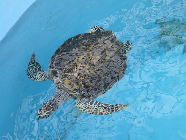 沖縄美ら海水族館 大きな亀さん